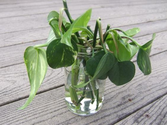 pothos stem in water