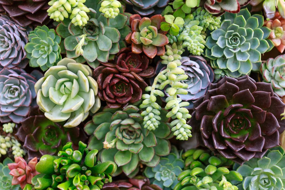 succulent variety