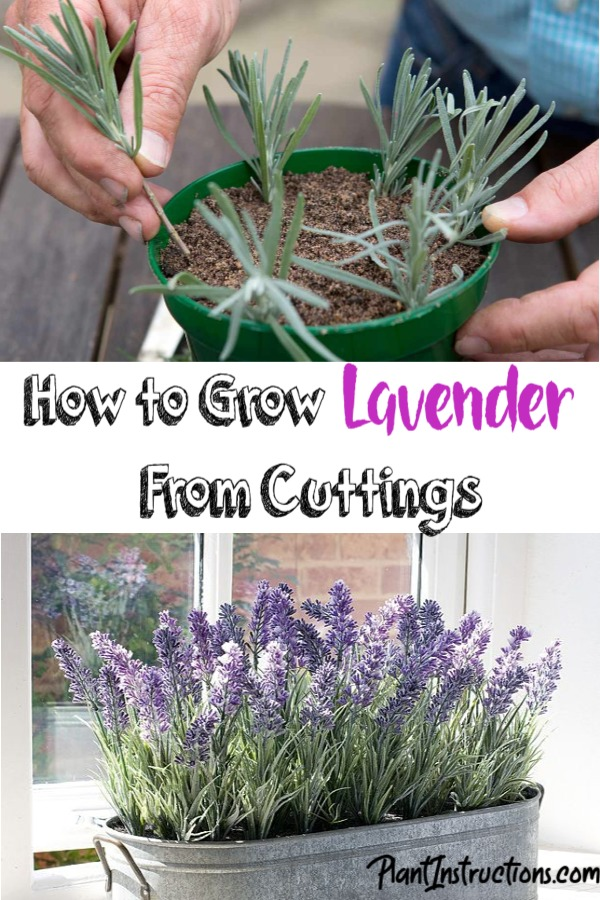 Grow Lavender From Cuttings