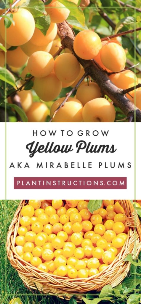 Grow Yellow Plums