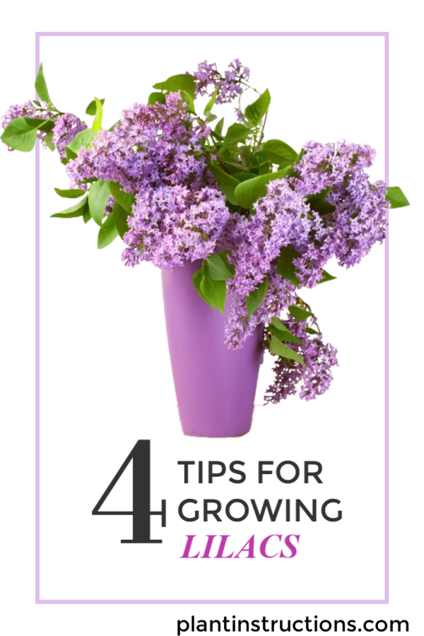 Growing Lilacs