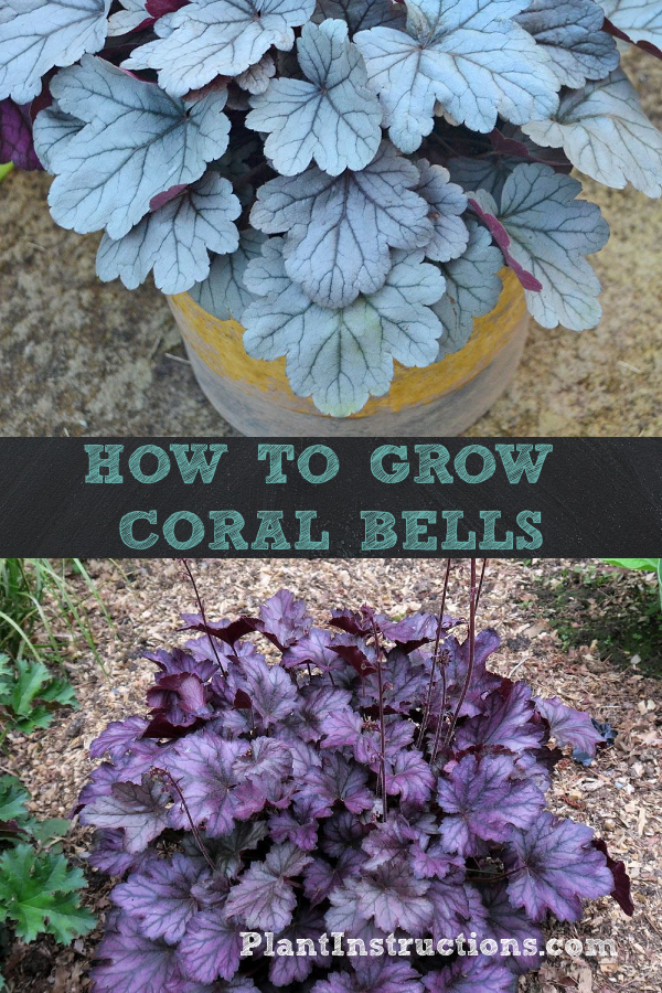 How to Grow Coral Bells