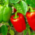 5 Tips For Growing Bell Peppers: A Guide to Growing Big, Beautiful Bell Peppers
