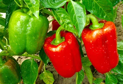 Tips for Growing Peppers Indoors