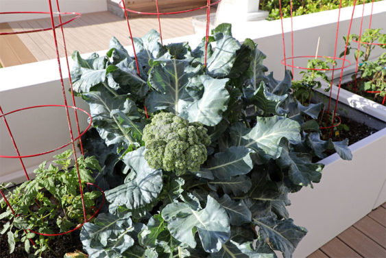 How to Grow Broccoli in Pots