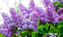 Must Know Tips for Growing Lilacs
