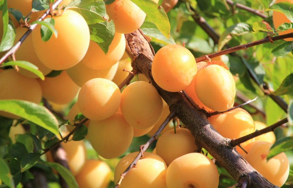 How to Grow Yellow Plums AKA Mirabelle Plums