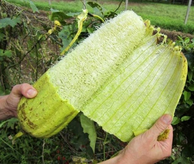 How to Grow Loofah Plants