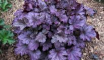 How to Grow Coral Bells AKA Heuchera