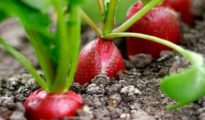 Radish Growing Problems: Treating Radish Diseases