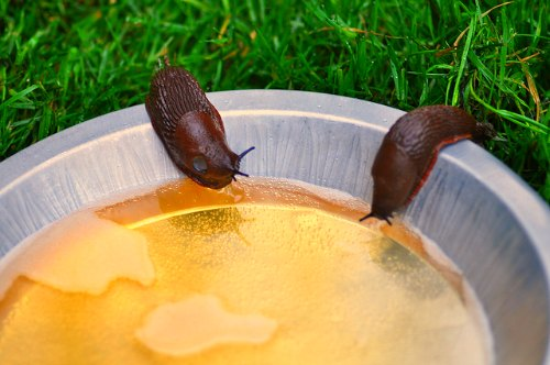 5 Ways to Get Rid of Slugs in The Garden