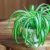 How to Care for Spider Plants