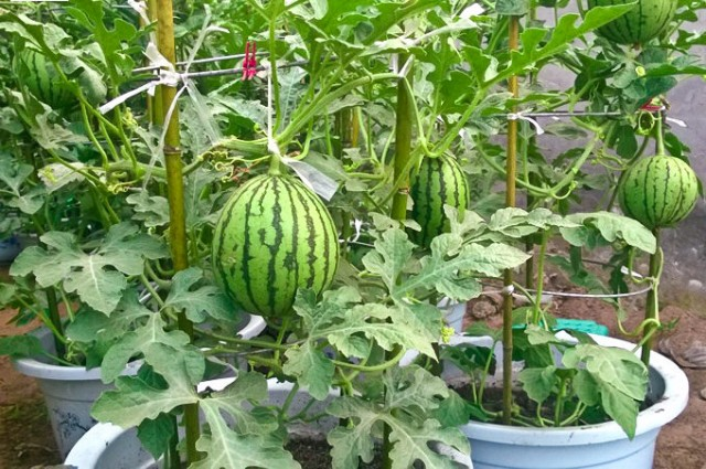 watermelon in pots