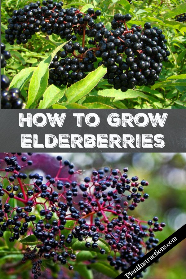 How to Grow Elderberries