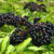 Top 7 Elderberry Varieties You Can Grow In Your Backyard