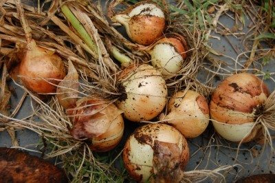 The Secret To Growing Large Onions