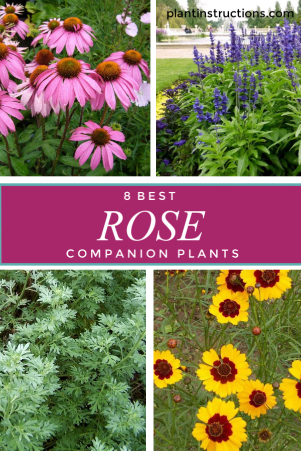 Rose Companion Plants