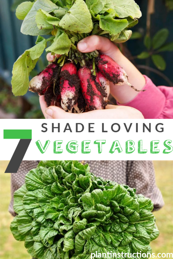 Shade Loving Vegetables