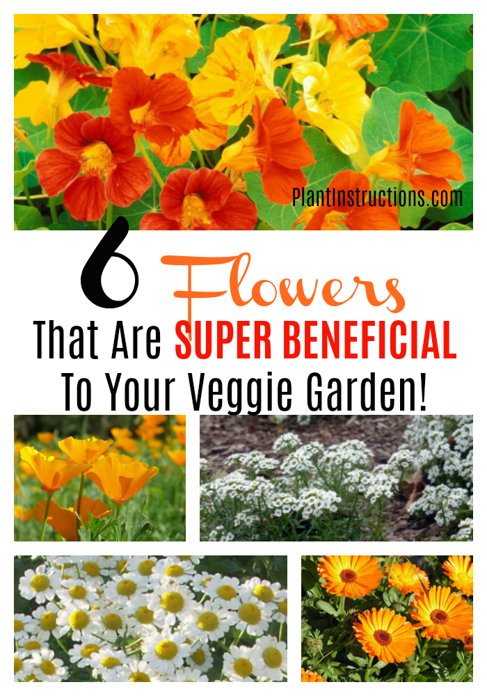 If you have a vegetable garden, you may want to check out these 6 vegetable garden flowers you can grow together! #vegetablegardenflowers #gardenflowers #plantinstructions