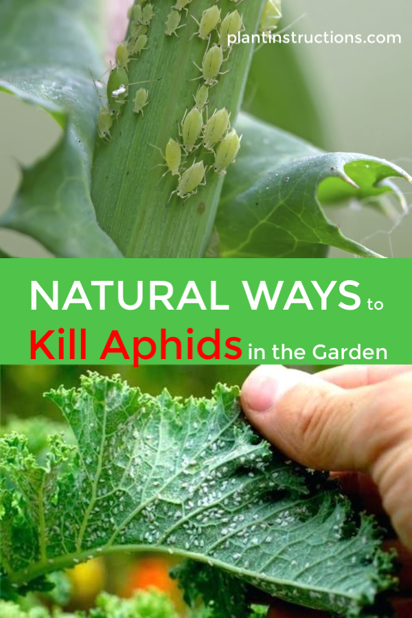Ways to Kill Aphids