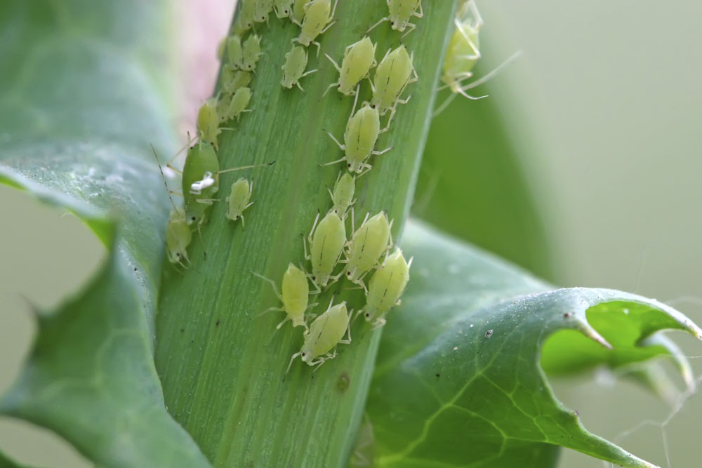 aphids on plant stalk