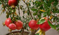 How to Grow Pomegranates Indoors