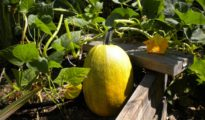 Growing Spaghetti Squash: What You Need to Know