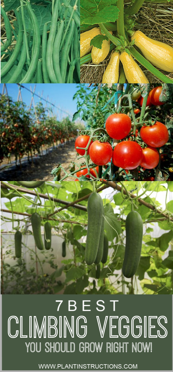These best climbing vegetables are not only easy to grow, making them perfect for beginner gardeners, but also leave you with plenty of garden space. #climbingvegetables #vinevegetables #plantinstructions