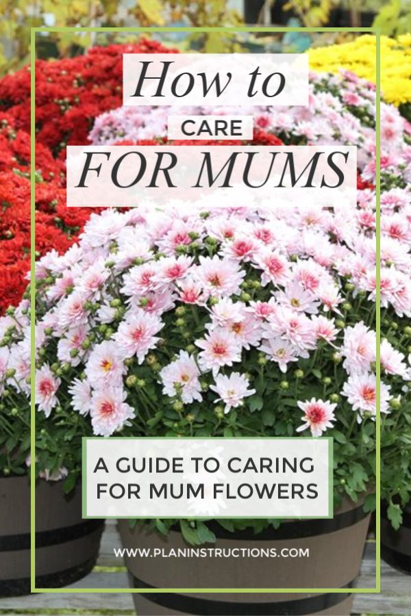How to Care for Mums