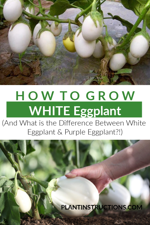 If you\'re looking to expand your garden repertoire or just plant something a little different, this guide on how to grow white eggplant is for you! #whiteeggplant #vegetablegarden #plantinstructions
