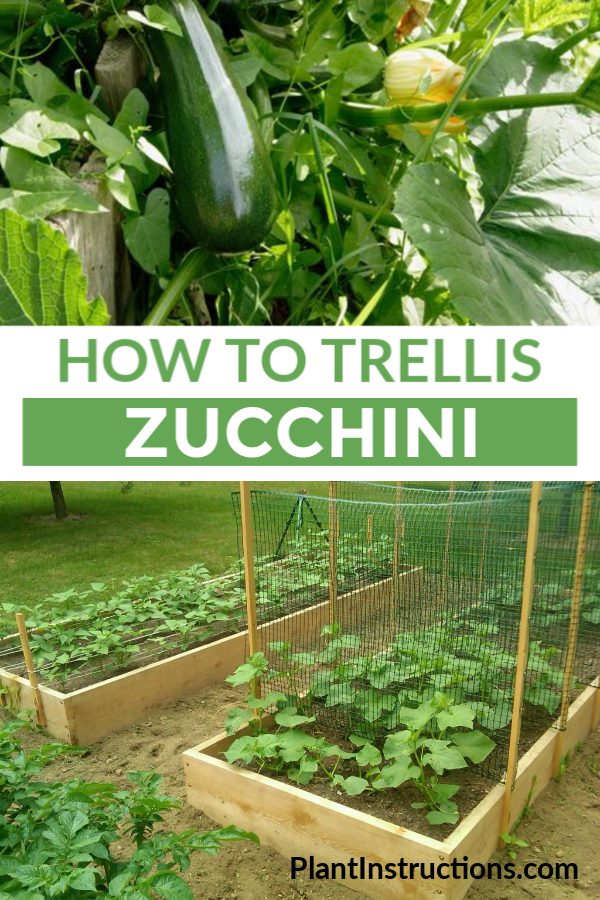 If you like growing zucchini, you\'ll love learning about the space saving method of how to trellis zucchini. #trelliszucchini #zucchinitrellis #plantinstructions