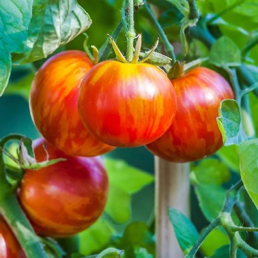10 Best Tomato Varieties to Grow