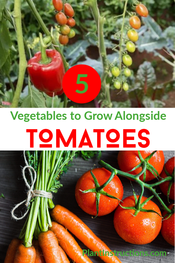 Vegetables to Grow Alongside Tomatoes