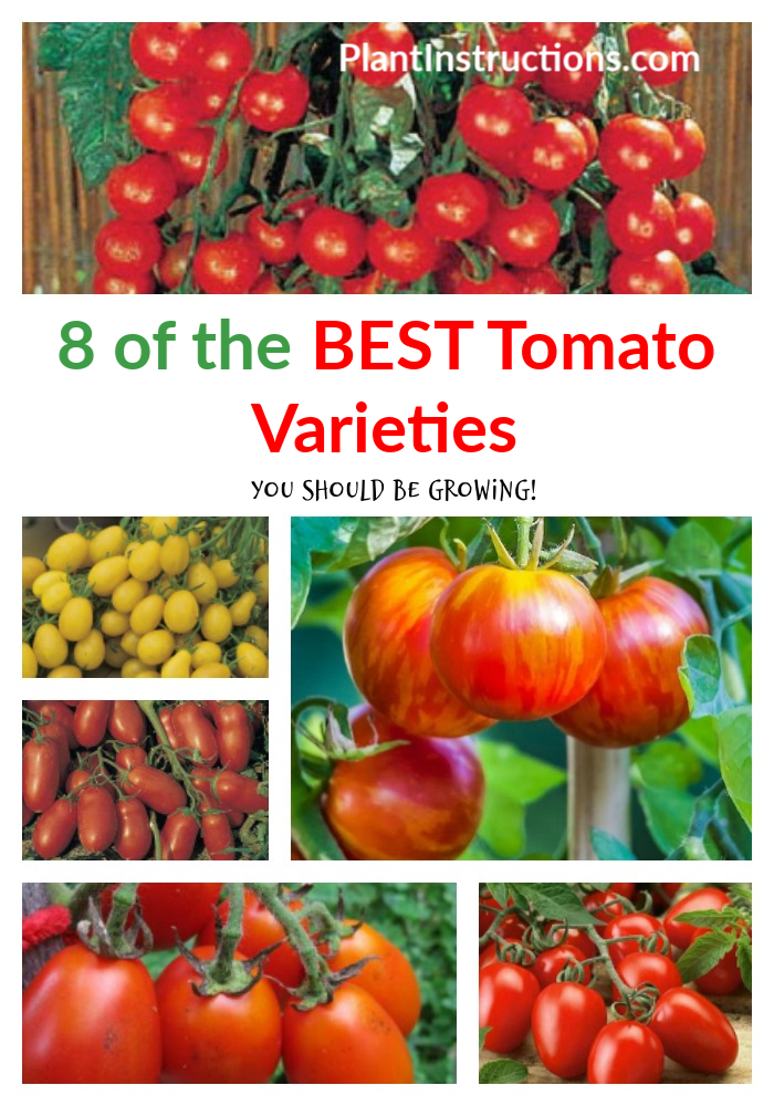 Tomatoes come in different shapes, sizes, and flavors, and so the opportunities are really endless! Here we\'ve compiled a list of the 8 best tomato varieties to grow! #tomatoes #tomatovarieties #plantinstructions