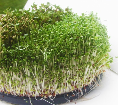 How To Grow Broccoli Sprouts At Home Plant Instructions