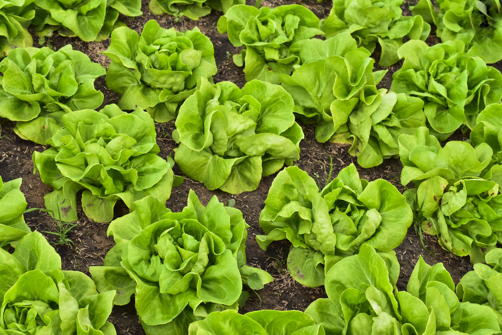 butter lettuce in garden