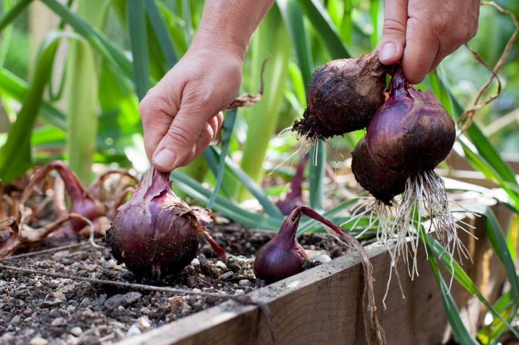 planting red onions