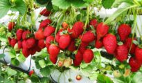 How to Grow A Lot of Strawberries