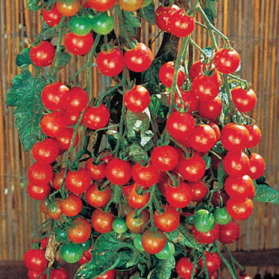 super sweet 100 tomatoes