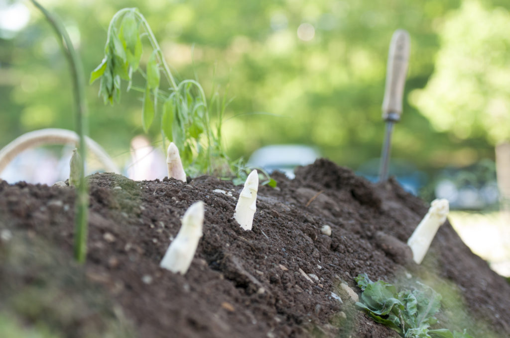 How To Grow White Asparagus Plant Instructions