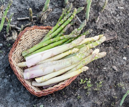 How to Grow White Asparagus