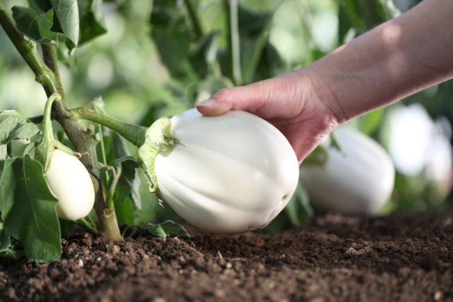 How To Grow White Eggplant