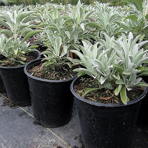 white sage in pots