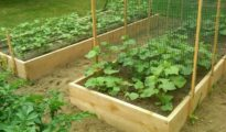 How to Trellis Zucchini