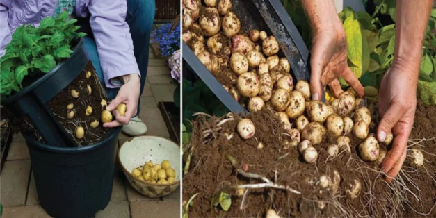 How to Grow a Hundred Pounds of Potatoes in a Pot