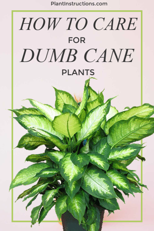 How to Care for Dumb Cane Plants
