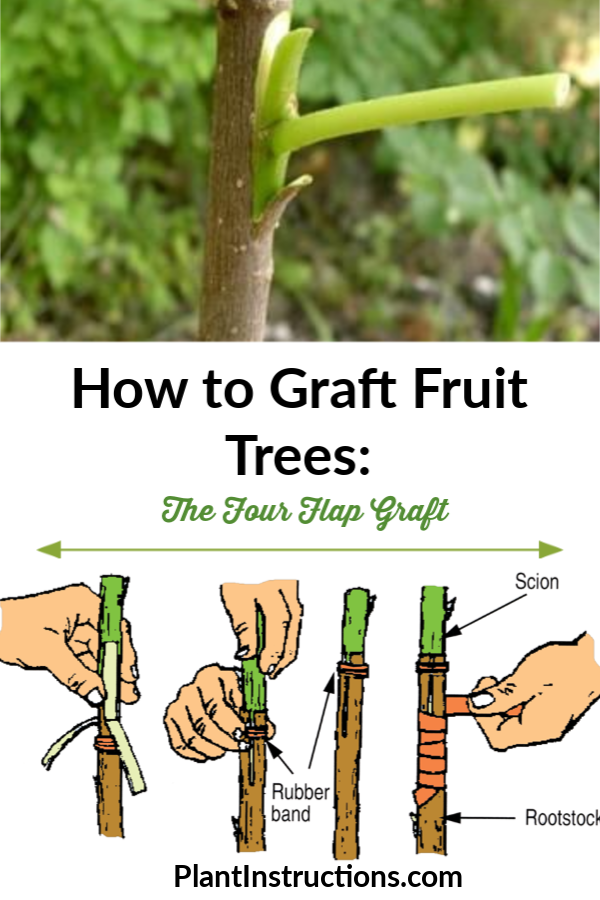 How to Graft Fruit Trees