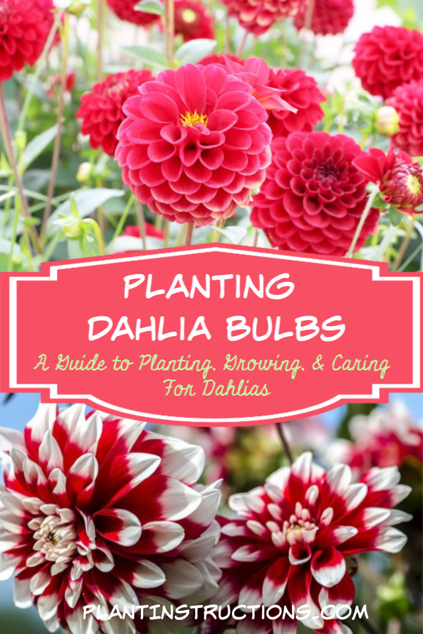 Planting dahlia bulbs is fairly easy, and you\'ll be amazed at the showstopping blooms you\'ll see at the end of spring! #dahliabulbs #yearofthedahlia #plantinstructions