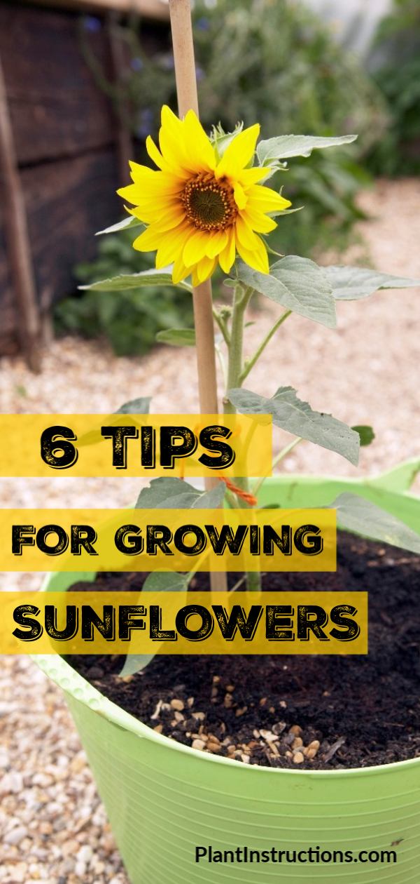 Follow these 6 tips for growing sunflowers in your garden and enjoy a garden-full of beautiful yellow flowers all summer long!