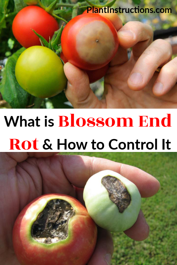 So what is blossom end rot? Blossom end rot is a common problem for tomatoes, eggplants, peppers, and squash where the bottom end of the fruit literally rots. #blossomendrot #tomatoproblems #plantinstructions